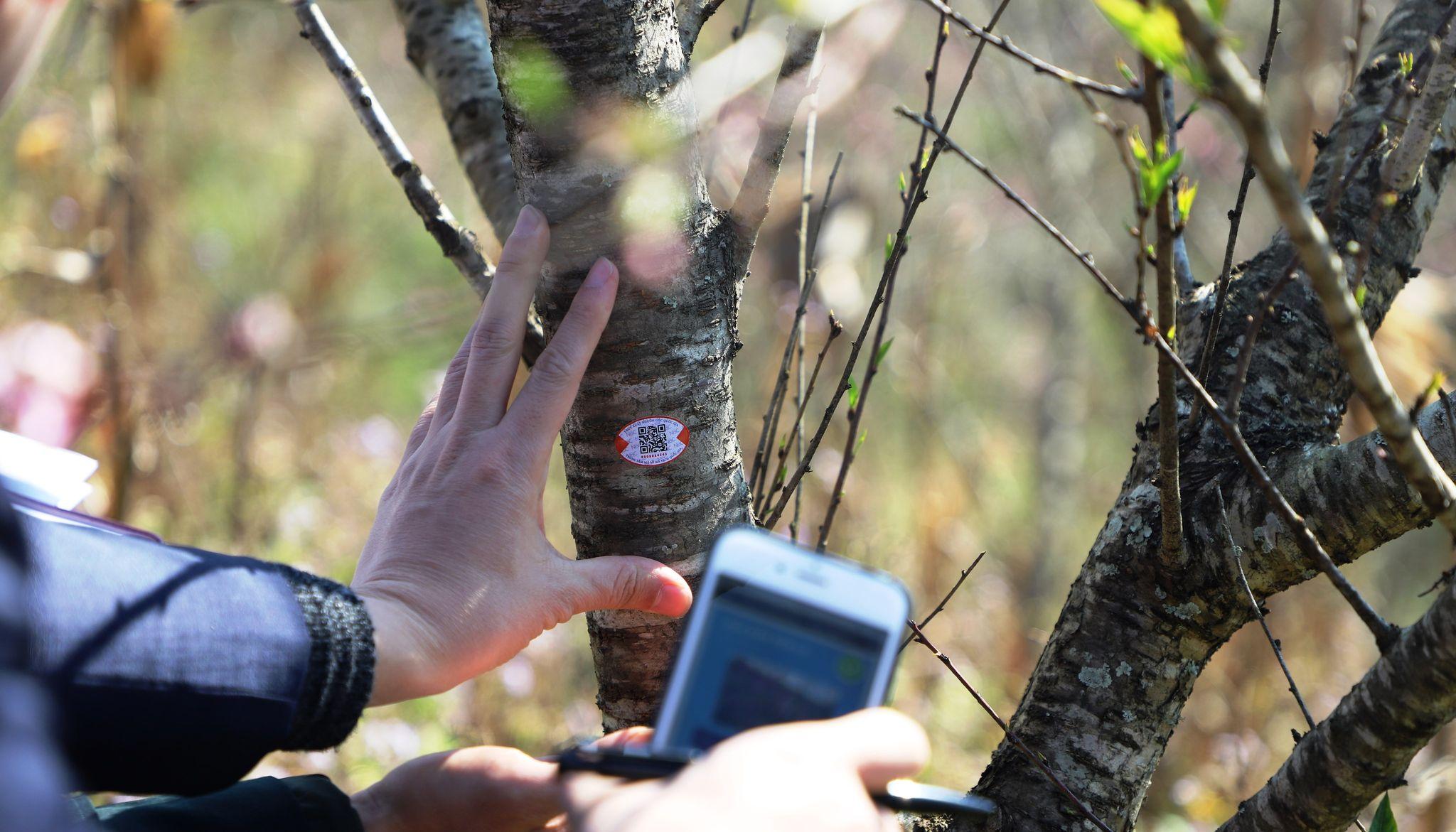 Bộ KH&CN chủ trì, phối hợp triển khai truy xuất nguồn gốc cây đào
